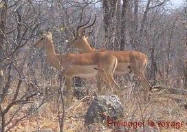 64-impalas-hwange