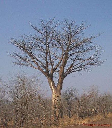 73-baobab-hwange