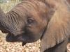 34-tete-elephanteau